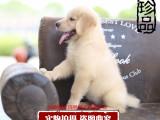 纯种大骨架顶级金毛犬 宽嘴大头金毛 品质健康保