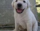 做第一品质 专业繁殖拉布拉多 高智商 工作犬