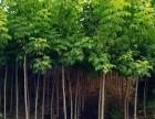 山东青州金叶复叶槭苗木种植供应基地
