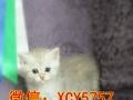 包子脸可爱蓝猫,自家养殖,疫苗驱虫齐全,价格可议