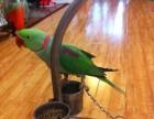 出售亞歷山大鸚鵡 鷯哥 和尚鸚鵡 吸蜜鸚鵡 金太陽鸚鵡