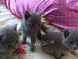 纯蓝英短猫宝宝出售