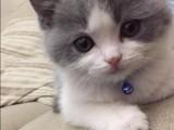 宠物虎斑猫 店铺双飞猫
