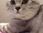 长沙哪里有自家繁育英短美短蓝猫折耳等 寻爱心家庭被宠健康可爱