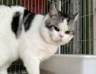 雅彩家25大帅哥美短,英短,加菲猫,布偶猫对外配种