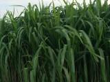 增润草种节包邮 高产牧草增润草种子种苗 南方养殖四季多