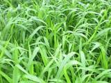 南寧景龍生態大量寬葉雀稗等草種種子批發