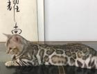 纯种孟加拉豹猫,TICA注册