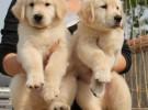 出售血统金毛 纯种金毛幼犬 品质好 质量保证