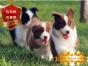 专业繁殖边境牧羊犬养殖基地 可以来犬舍里挑选