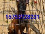宜昌哪里有出售马犬的,纯种马犬多少钱一只,狼青犬的价格