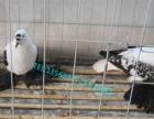 周口哪里有卖观赏鸽的、优质肉鸽、元宝鸽、淑女鸽、凤尾鸽等等