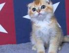 CFA高端繁育苏格兰折耳猫品质保障包健康