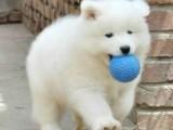 中山哪里有卖萨摩耶犬 微笑天上萨摩耶出售 包健康 送用品