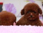 中国较大双血统泰迪犬繁殖基地 可实地考察