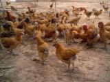 四川養殖雞鴨鵝技術培訓班