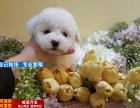 出售纯种比熊幼犬 赛级品质 健康质保 送货