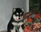 犬舍出售 泰迪 博美 比熊 巴哥 约克夏 等小型犬