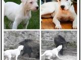 自己家养的双血统杜高犬犬 颜值高 忍痛出售