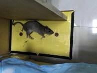 专业灭鼠 灭蟑螂 除虫灭蚁 除四害