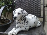 北京哪有斑点狗卖 北京斑点狗多少钱 北京斑点狗图片