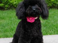 纯种贵宾犬正规养殖 保健康 量大可优惠