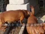 佛山哪里买腊肠犬好、自己繁殖、高品质幼犬