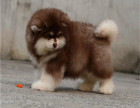 巨型阿拉斯加犬出售 多少钱 黑色阿拉斯加