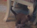 英短蓝猫小公弟弟