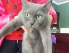 纯种俄罗斯蓝猫