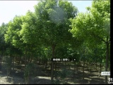 常年高价收购大量绿化苗木风景树