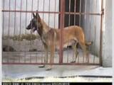 自家繁殖饲养的马犬便宜出售