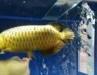 风水鱼-金龙鱼-银龙鱼