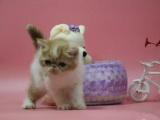 自己家繁殖加菲猫三窝 可以包窝 可以零卖 具体详谈