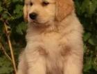 通人性的金毛巡回犬 高端赛级大骨量金毛 双血 包活