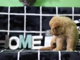 金华哪里有宠物狗卖大头金毛 黄金巡回猎犬金毛狗包健康