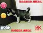 犬舍专业出售纯种哈士幼犬 蓝颜三火哈士奇