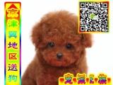 泰迪幼犬实物拍摄 包纯种 包健康 多只在售公母均有