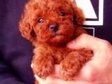 花都哪有泰迪犬卖 花都泰迪犬价格 花都泰迪犬多少钱