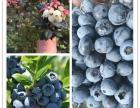 重庆蓝莓采摘