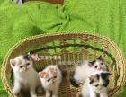 完美鼻位牛逼花色的三花净梵加菲猫全母猫