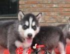 中山纯种哈士奇犬 三把火哈士奇 西伯利亚哈士奇 专业繁育犬舍