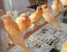 出售辣椒红玉芙蓉鸟
