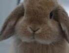 转让可爱健康大垂耳兔