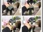 纯种雪纳瑞幼犬 超萌个性化雪纳瑞 专业注定品质韧