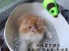 上海波斯猫 长毛波斯