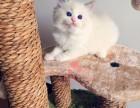 兰州人都到哪里去买布偶猫 兰州较便宜布偶猫价格