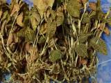 【红宝山】国内最大金线莲供应商 福建金线莲干品 种植4个月以上