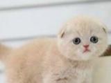 《蔓蔓の猫 家庭繁育》镇江本地猫舍,蓝白/乳白/黑