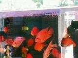 清缸进鱼大小鹦鹉打包处理价格超低仅限今天
